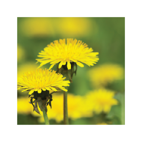 piktožolių naikinimui herbicidai