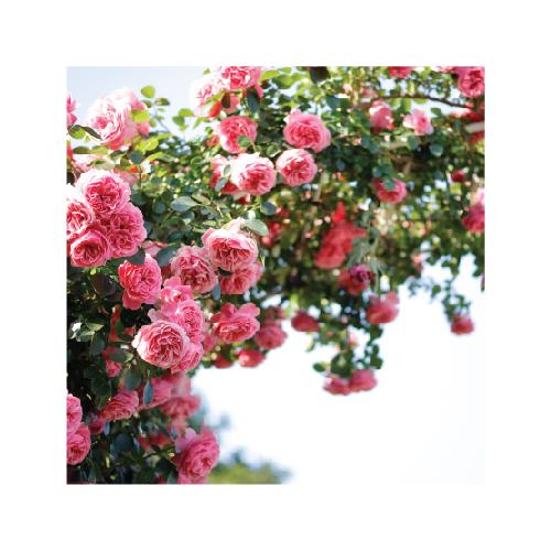gėlėms augančioms lauke